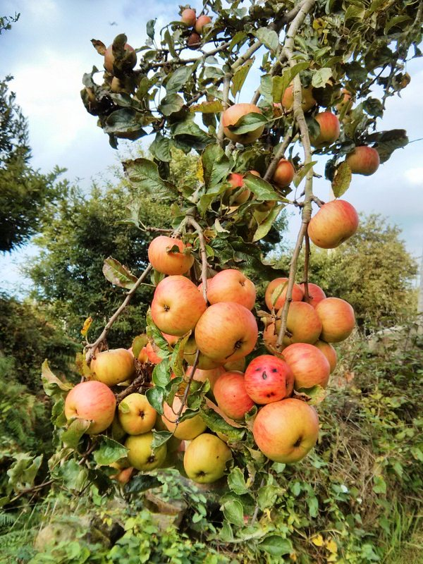 manzanas,sidra